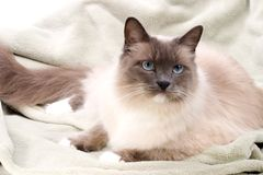 Cats series - ragdoll Stock Photo