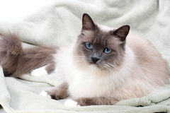 Cats series - ragdoll royalty free stock photos