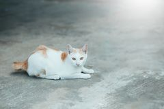 Cats Siam cat on the cement floor. Cats sitting on the cement floor, white cat one on the cement floor, Thai cat skin. stock image