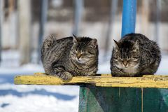 Cats sit side by side and up ones eyes from the sun. Two twin cats sit side by side and up ones eyes from the sun stock photos