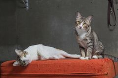 Cats sitting on scratched orange fabric sofa Royalty Free Stock Photo