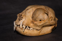 Cats skull 45 degree with black background Stock Images