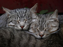 Cats sleep perfectly Stock Photography