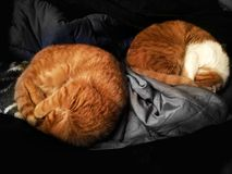 Cats sleep. Sleeping on the bed floor Stock Photography