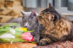 Cats sleep together on a blanket. Gray Scottish kitty and adult cat. Pet. Cat hugs cat gently and hugs. Nice fur. Muzzle large. Cats sleep together on a blanket royalty free stock image