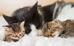 Cats sleep Stock Photography