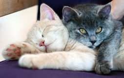 Cats sleeping Royalty Free Stock Images
