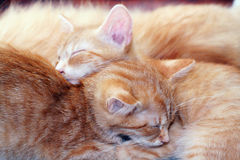 Cats sleeping royalty free stock image