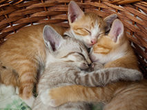 Cats sleeping in the basket. Baby cats sleeping in the basket royalty free stock photo