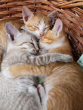 Cats sleeping in the basket. Three baby cats sleeping in the basket royalty free stock image