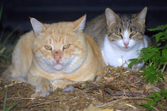 Cats snuggling. Two stray cats-male with scars and female lying close together and staring peacefully Royalty Free Stock Image