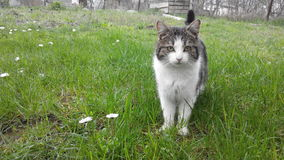 Cats spring. Nice young gray-white cat on the green grass feels the smell of a spring Stock Photography