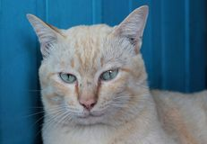 Cats are staring. Cats with blue eyes are staring Royalty Free Stock Photo