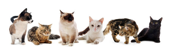 Cats in studio Royalty Free Stock Photos