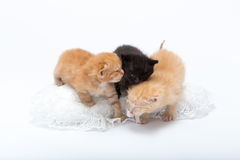 Cats. Three young kittens are expressing affection between themselves royalty free stock image