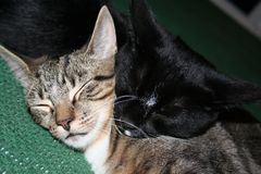 Cats Tom & Jake Snuggle royalty free stock photo
