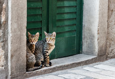 Cats  twins. Cats twins are watching on the street. Sibenic. Croatia Stock Image