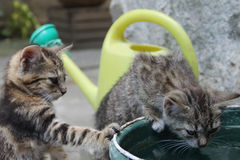 Cats. Two cats drinking water outdoors Stock Images
