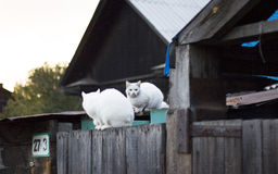 Cats. Two white cat sitting on a fence Stock Photography