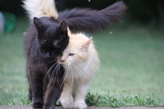 Cats walking together black and white gold Royalty Free Stock Photography
