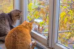 Cats watch a squirrel Royalty Free Stock Image