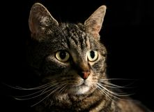 The Cats Whiskers. Portrait of a Tabby Cat  - great detail of whiskers. Studio lighting with black backdrop Royalty Free Stock Photos