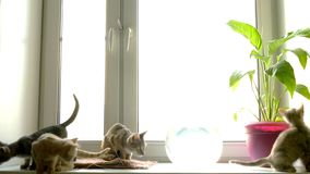 Cats at  window stock video footage