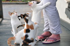 Cats and womans legs Stock Photography