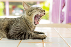 Cats are yawning. And it's will to sleep Stock Photos