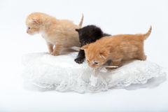 Cats. Young cats are playing together. Semi- on white. Nice image for copy space text stock photos