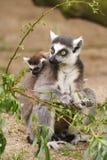 catta她的狐猴母亲一年轻人 库存照片