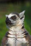catta狐猴 免版税库存图片