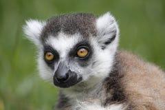 catta狐猴 库存照片