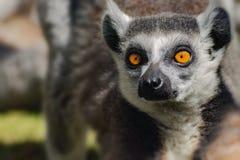 Catta κερκοπιθήκων προσώπου, δημοφιλής πίθηκος από τη Μαδαγασκάρη Στοκ Εικόνες