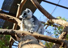 Catta-πίθηκος κήπος-Tenerife-Canarian νησί-Ισπανία κερκοπιθήκων Στοκ Εικόνες