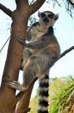 Catta-πίθηκος κήπος-Tenerife-Canarian νησί-Ισπανία κερκοπιθήκων Στοκ εικόνα με δικαίωμα ελεύθερης χρήσης
