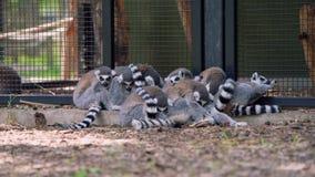 Catta Anello-munito delle lemure di lemures che dorme insieme in una fine del gruppo per la sicurezza Codificato in ProRes 422 a  archivi video