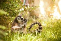 catta Anillo-atado del lémur del lémur Foto de archivo libre de regalías