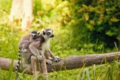 catta Anillo-atado del lémur del lémur Fotos de archivo libres de regalías
