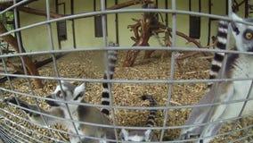 Catta Anillo-atado mangosta del lémur de los lémures de Madagascar almacen de metraje de vídeo