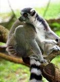 catta Anneau-coupé la queue de lémur de lémur photo stock