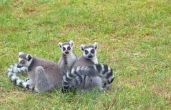 catta Anneau-coupé la queue de lémur de lémur Images libres de droits
