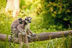 catta Anneau-coupé la queue de lémur de lémur photos stock