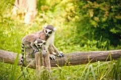 catta Anneau-coupé la queue de lémur de lémur Photographie stock libre de droits