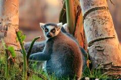 catta Anneau-coupé la queue de lémur de lémur Image libre de droits