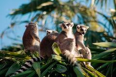 catta Anneau-coupé la queue de lémur de lémur Photo libre de droits