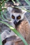 Catta atado anillo del lémur del lémur que le mira fotografía de archivo libre de regalías
