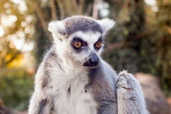 Catta de lémur Photos libres de droits