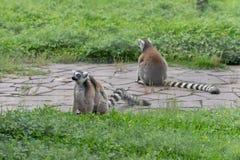 Catta de lémur-lémur amour-Anneau-coupé la queue par s de ` de mère Images libres de droits