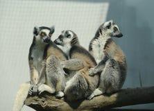 Catta de lémur anneau-coupé la queue par trois Images stock